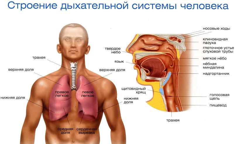 Дыхательная система человека схема рисунок